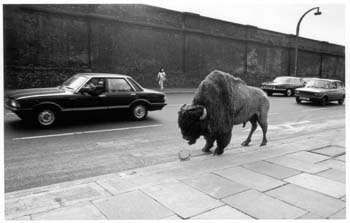 bison-at-chalk-farm-1981