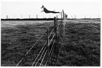 leaping-lurcher-1972